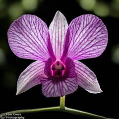 Purple Orchid (tom_cross) Tags: orchid flower purple doublefantasy