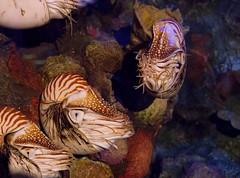 Nautilus (cmurphy13) Tags: california ca aquarium bay monterey nautilus