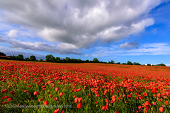 Red carpet... (Colin Hollywood Photography) Tags: uk red england sky cloud field rural landscape chalk nikon crop poppy poppies salisbury wiltshire wessex d810 1424mm