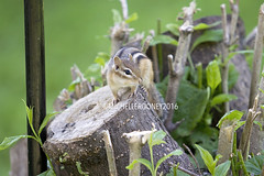 IMG_4637eFB (Kiwibrit - *Michelle*) Tags: tree grass birds woodpecker squirrel maine feeder chipmunk monmouth 2016 061916