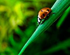 Ladybug and the Love (Banga Attila) Tags: macro love nature contrast leaf heart ladybug