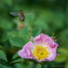 one of millions (Explored) (is.hollmann) Tags: blossom bees bee wildrose biene