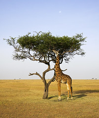 One Tree, One Giraffe (John Overmeyer) Tags: kenya giraffe s100
