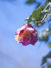 Camellia japonica 'Amagasita' (Polotaro) Tags: flower nature pen olympus camellia   zuiko ep1     gzuiko50mmf14
