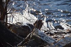 DSC_0013 (rlg) Tags: ice 26 sunday february icicles 2012 0226 fpr 201202 20120226 nikond5100 02262012