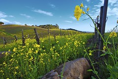 Spring in Carneros (cbkamp) Tags: california blue sky vineyard hills napa bloom mustard carneros