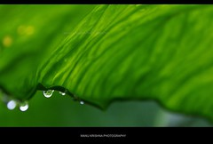 Natural Umbrella... (Manu Krishna) Tags: snow macro green droplets leaf cool bangalore kerala drop manu wayanad coimbatore trichur reverselens trissur manukrishna manukrishnaphotography