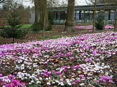 The Cyclamen At Wakehurst (Louise and Colin) Tags: uk pink trees england white english garden landscape westsussex britain british nationaltrust cyclamen springflowers wakehurstplace visitorscentre highweald heritagegarden