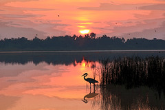 Sunrise Fishing (Robert Fred) Tags: morning food orange lake heron water birds animal animals sunrise work dawn landscapes fishing fisherman fishermen florida wildlife lakes hunger wetlands fisher dining greatblueheron herons daybreak patience wetland ardeaherodias winterhaven greatblueherons birdfishing birdsfishing landscapes11241 landscape11241
