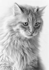 Atreju (Blitzknips) Tags: animal animals cat katze katzen siberiancat autofocus impressedbeauty sibirischekatze bestcapturesaoi mygearandme