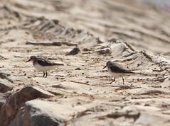 Little stint at Sharm El Sheikh IMG_4370 (grebberg) Tags: bird calidris egypt sharmelsheikh stint february fugl calidrisminuta sharm sinai 2012 wader littlestint sewageplant seage