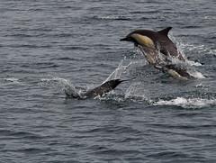 Moss Landing to Big Sur (SpeersM5) Tags: monterey dolphin bigsur pch mercedesbenz missioncarmel sealion seaotter whalewatching carmelbythesea mosslanding oldmission graywhale commondolphin camission classicbenz gaspowerplant highwatone pgenaturalgaspower