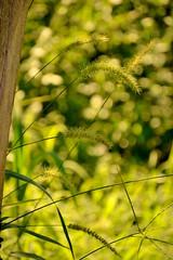 Novum (JavierAndrs) Tags: summer naturaleza plant blur verde green planta nature grass yard garden nikon soft bokeh patio pasto desenfoque verano spike suave jardn espiga yuyo bokehdots mygardenschool d3100