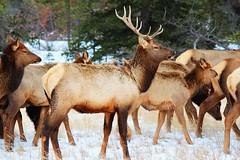 Elk: Wildlife beauty in Jasper National Park. (Peggy2012CREATIVELENZ) Tags: brown white snow canada green forest textures alberta elk jaspernationalpark myflickrfavs flickrsbest heartawards salveanatureza thedigitographer addictedtonature animalsimages blinkagain redgroupno1 peggy2012creativelenz img3066ap