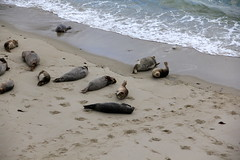 La Jolla - Children's Pool  - Seals (Driven to Capture 2) Tags: beach pool coast sandiego lajolla childrens