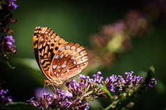 Great Spangled Fritillary (Russ Kinerson) Tags: insectsandspiders mdc75
