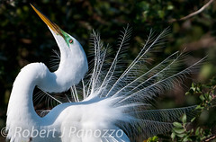 Look at ME! (ChicagoBob46) Tags: bird ngc sanibel sanibelisland egret greategret autofocus specanimal naturesgallery thewondersofnature jndingdarlingnwr goldwildlife 100commentgroup thenaturesgreenpeace mothernaturesgreenearth mygearandme mygearandmepremium mygearandmebronze mygearandmesilver mygearandmegold mygearandmeplatinum mygearandmediamond allnaturesparadise amazingwildlifephotography