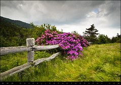 Carvers Gap - Appalachian Trail Roan Mountain Highlands (Dave Allen Photography) Tags: statepark pink flowers blue wild nature dave fence outdoors nikon allen tn angle hiking tennessee blossoms wide gap magenta northcarolina wideangle ridge rhododendron woodenfence blooms appalachia blueridgemountains blueridge appalachiantrail daveallen appalachianmountains appalachians wnc westernnorthcarolina roanmountain rhodies carversgap roundbald roanmountainstatepark d700 roanhighknob mygearandme mygearandmepremium mygearandmebronze mygearandmesilver mygearandmegold mygearandmeplatinum mygearandmediamond tpafence