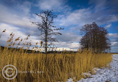 Juncaceae (Voss-Nilsen) Tags: trees winter sky snow plant tree nature yellow norway canon plante geotagged photography norge photo vinter europa europe natur norden himmel nordic scandinavia planter tre gul himmelen skyer sn sne greiner siv photograpy trr naturbilder stlandet vinterdag geografi gren vestfold skandinavia naturen grein geotagget vidvinkel juncaceae naturbilde digitalfoto geotagg rstider reisebilder grener vinterlys rstid vinterbilde reisefoto reiseliv ginordicfeb12 reisebilde vossnilsen