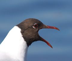DSC01396.Hettemke (Berit Christophersen) Tags: bird oslo norway sony blackheadedgull hettemke stensjvannet