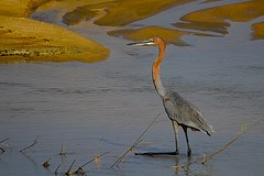 Goliath Heron (Ardea goliath) & Croc (Arno Meintjes Wildlife) Tags: africa park camp wallpaper holiday color art nature animal animals closeup southafrica bush wildlife safari explore endangered animalplanet mammalia rsa krugernationalpark mpumalanga krugerpark carnivore birdwatcher excellence big5 naturelovers knp goliathheron ardeagoliath sanparks naturesfinest naturescall flickrsbest meintjes colorphotoaward arnomeintjes naturewatcher internationalgeographic naturesgreenpeace