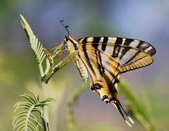 Iphiclides feisthamelii (anacm.silva) Tags: wild portugal nature butterfly bug insect nikon wildlife natureza bugs borboleta mariposa insecto vidaselvagem iphiclidesfeisthamelii anasilva parquenaturaldodourointernacional freixodeespadaàcinta penedodurão nikond40x