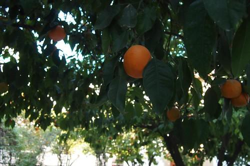 orange trees!