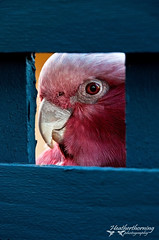 I Can See you Now (heathth) Tags: birds animals wildlife parrot westernaustralia galah australianbirds pinkandgrey nikond90