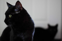 I'm Not Looking At You (M.Christian) Tags: cats black cat blackcat kitty liam kitties nico blackcats badluck