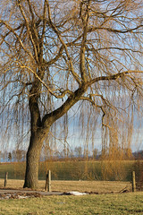 Weeping Willow (gripspix (X-mas Break Family first)) Tags: nature germany deutschland natur weepingwillow badenwrttemberg trauerweide empfingen 20120224