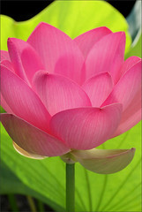EXPLORED!  Lotus Flower - IMG_3715-800 (Bahman Farzad) Tags: flower yoga petals peace lotus relaxing peaceful meditation therapy lotusflower lotuspetals theperfectpinkdiamond