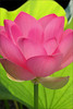 EXPLORED!  Lotus Flower - IMG_3715-800 (Bahman Farzad) Tags: flower yoga petals peace lotus relaxing peaceful meditation therapy lotusflower lotuspetals theperfectpinkdiamond