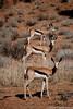 Tic Tac Toe / Tres en raya (Oscar Cubillo) Tags: animal southafrica nationalpark botswana kalahari springbok tictactoe gacela sudafrica kgalagadi tresenraya botsuana gazle