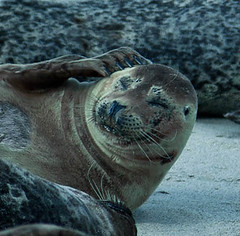 The thinker (lightstagephotography) Tags: california canon photography lajolla harborseal