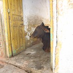 "Cow in Doorway <a style=""margin-left:10px; font-size:0.8em;"" href=""http://www.flickr.com/photos/14315427@N00/6934377493/"" target=""_blank"">@flickr</a>"