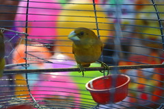 .........(unknown bird inside the cage) (ash tareq) Tags: colour bird nature cage unknown ash inside tareq