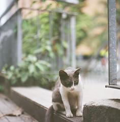 。, (Ifitis) Tags: light white green 120 film leaves cat mediumformat southeastasia kodak bokeh tl backstreet malaysia pentacon six p6 pentaconsix czj