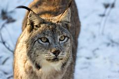 Kasimir (Cloudtail the Snow Leopard) Tags: cat lynx pforzheim wildpark luchs kasimir flickrbigcats