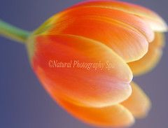 Happy International Women's Day! (NaturalPhotographySpa) Tags: women smooth internationalwomensday redandyellow bluebackground redonblue springtulip lensbabycomposer overtheworldcelebrate