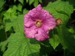Anglų lietuvių žodynas. Žodis purple-flowering raspberry reiškia violetinė-aviečių žydėjimo lietuviškai.