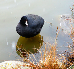 American Coot Confused By Hail Drops (TOTORORO.RORO) Tags: park sunset sno