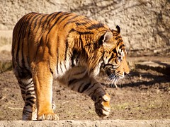 Tiger (machnik80) Tags: pen olympus 43 40150mm epl2