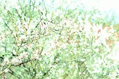 (yukkbie) Tags: light flower japan nikon umeblossoms d3100
