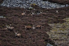 Highland Stag Party (Michael Carver Photography) Tags: nature photography scotland highlands stag glenshee scottish glen deer hills herd clunie