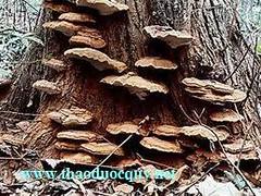 Nấm linh chi rừng tây nguyên