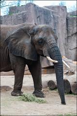 What is it... (jfelege) Tags: county elephant wisconsin zoo african ngc milwaukee ruth africanelephant loxodonta milwaukeezoo milwaukeecountyzoo spp zoosofnorthamerica wisconsinzoo savannaelephants speciesprotectionplan