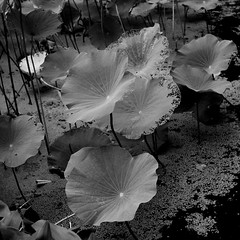 Lotus pool, Peoples' Park, Shanghai. (ndnbrunei) Tags: china blackandwhite bw 120 6x6 tlr film rollei mediumformat cord shanghai bn mf kodakbw400cn xenar rolleicord bw400cn analoguephotography rolleigallery ndnbrunei 50yearoldcamera ilovemyrolleicord