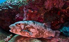 puffer9110 (gerb) Tags: fish topv111 underwater scuba puffer cleaner tvp d7000 sigma1017fe