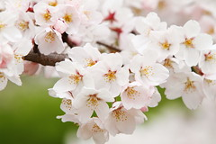 Sakura blossom (Teruhide Tomori) Tags: flower japan cherry spring kyoto blossom path    sakura kamogawa   kamigamo