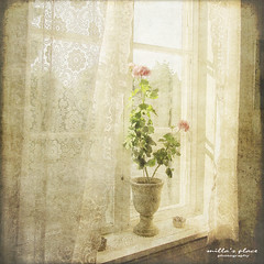 Flowers and Lace (Milla's Place) Tags: flowers summer sun window lace textures curtains textured pelargonium distressedjewell